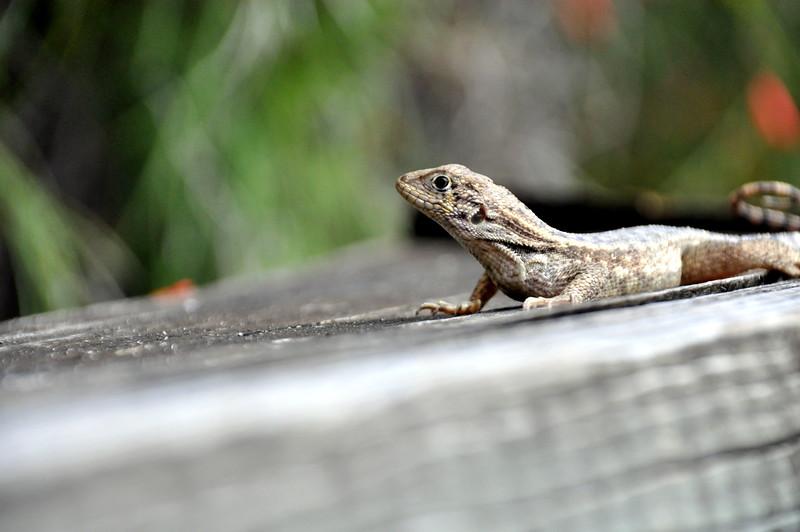lizard 030115_0509 2