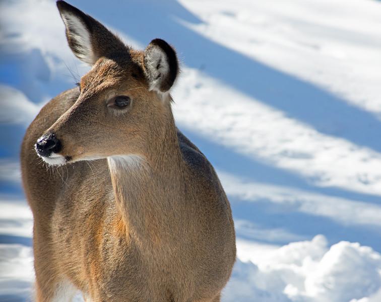 deer 012815 0426 2