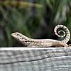 lizard 030115_0506