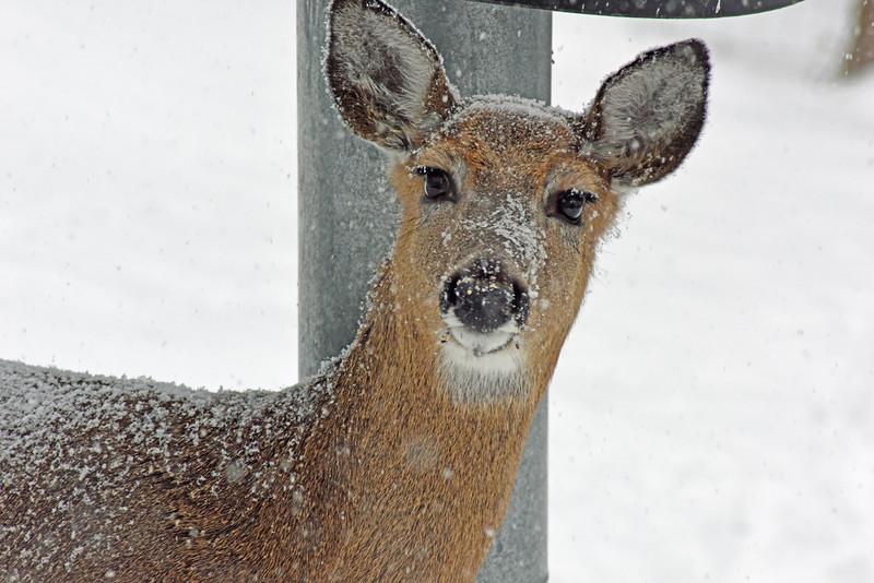deer snow 022115_0665 2ps