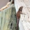 lizard 030115_0493