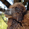 woolly camel 41614_0467
