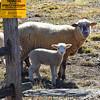 sheep 022216_0406