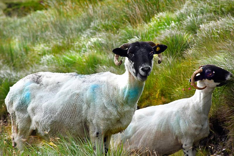 ire goat 080215 5364e