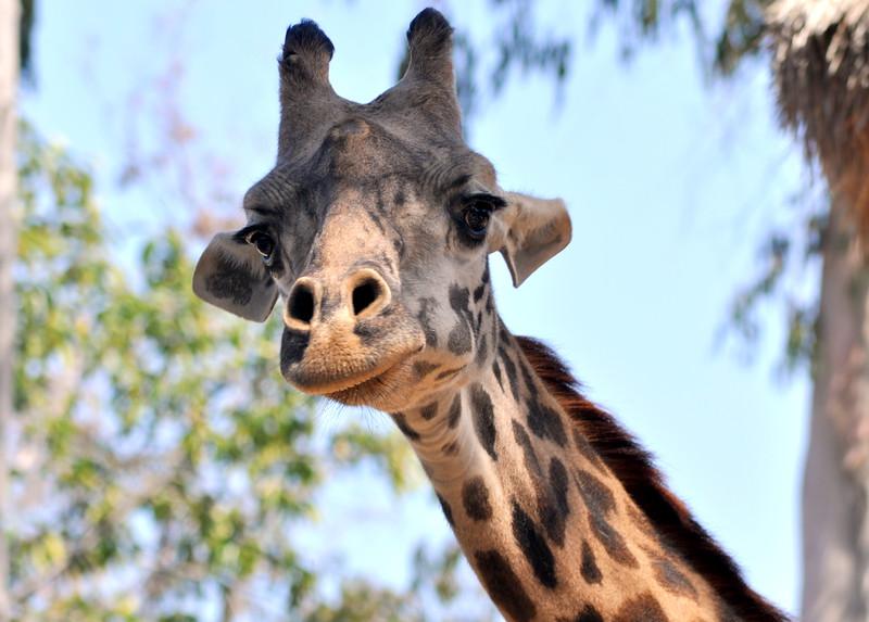 giraffe 41614_0575