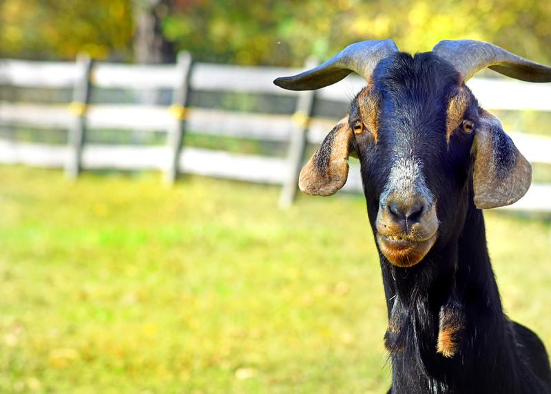 goat 101015 _8690 2