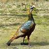 wild turkey 041816_0970