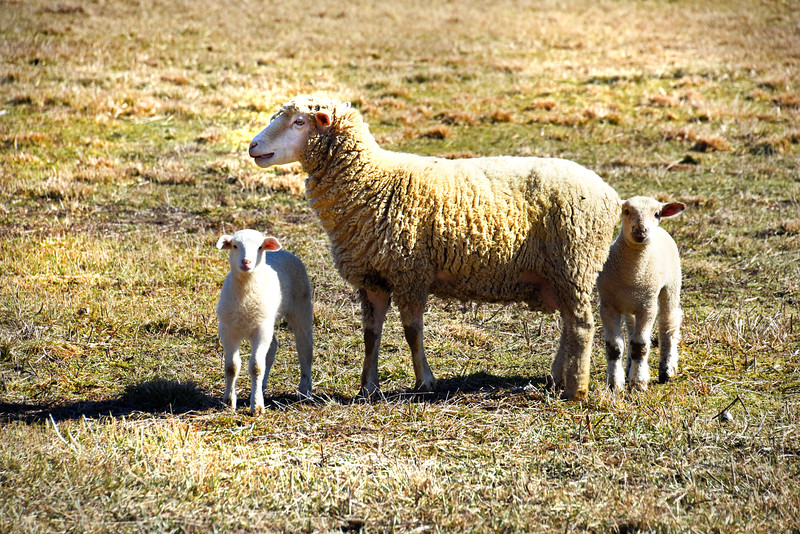 sheep 022216_0457