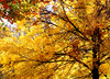 tree yellow 101015 _8649 3