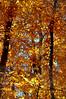 Yellow tree 110415_0356