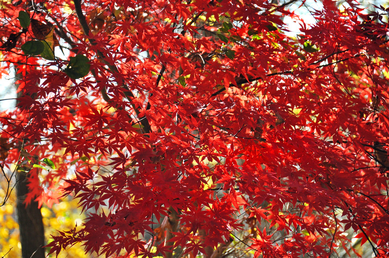 red tree 110415_0358
