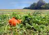 pumpkin field 100515 250