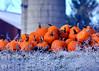 pumpkins 103114_0438 2