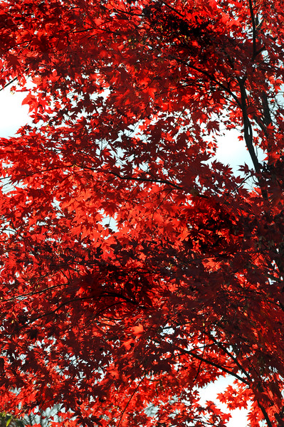 red tree 110415_0365
