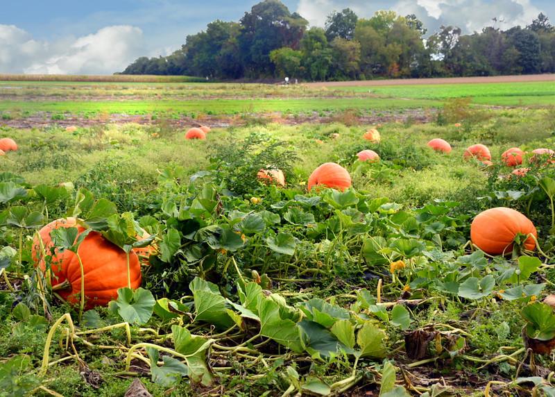 pumpkin field 100515 244