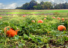 pumpkin field 100515 244