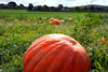 pumpkin big 100515 227