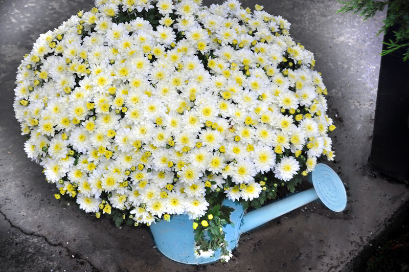 pitcher of mums 092815_0118