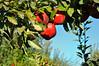 apples102315_0163