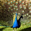 peacock 122714_0129 2