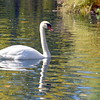 swan 101015 _8560