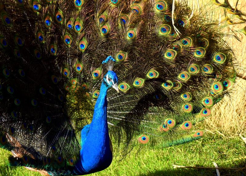 peacock 122714_0127