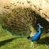 peacock 122714_0134