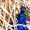 peacock 122714_0162 2