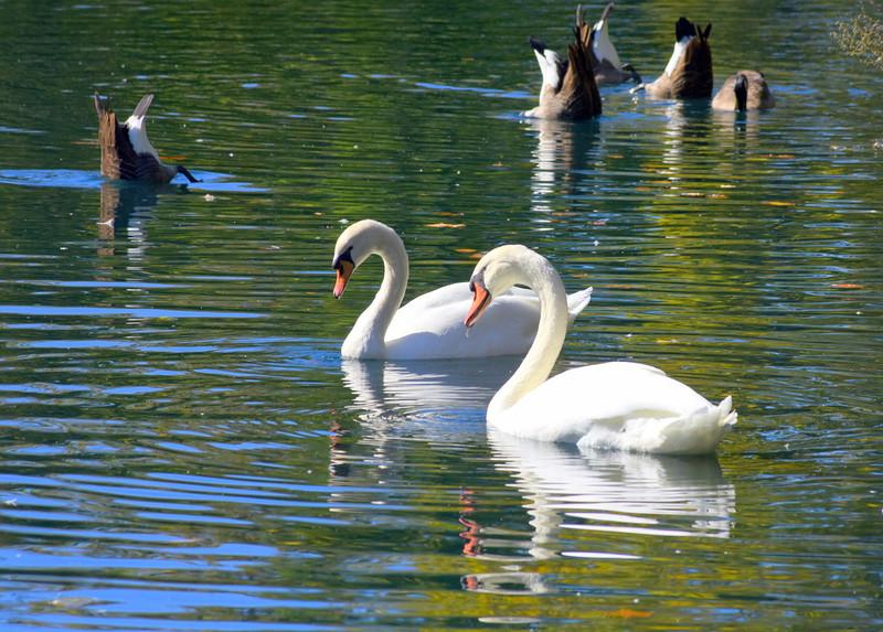 swans 101015 _8585