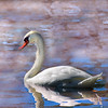 swan 101015 _8548 pink watercolor2