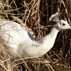 peacock white 122714_0086