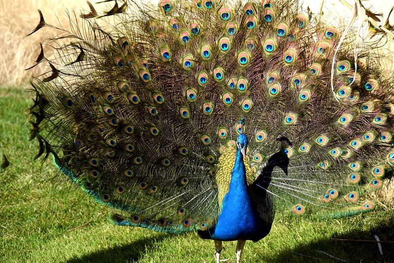 peacock 122714_0129