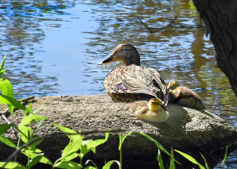 ducklings 052315_1507