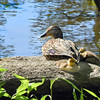 ducklings 052315_1507
