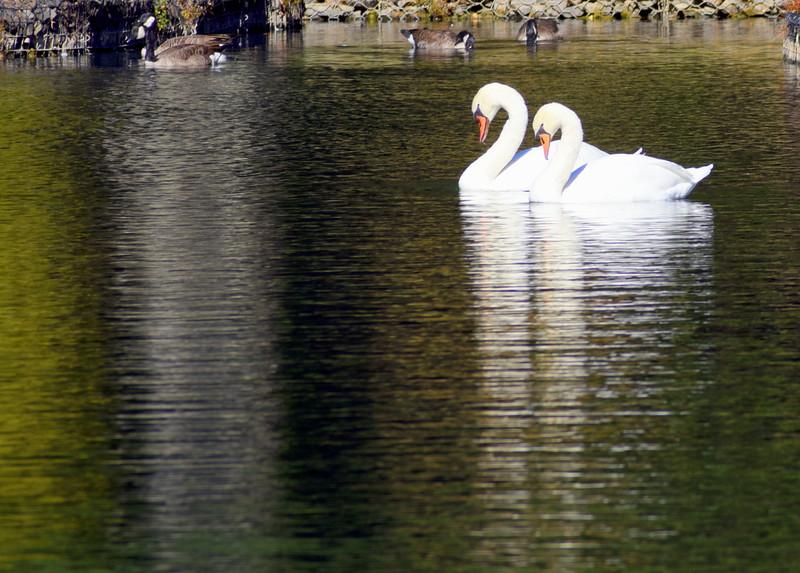 swans 101015 _8605 3