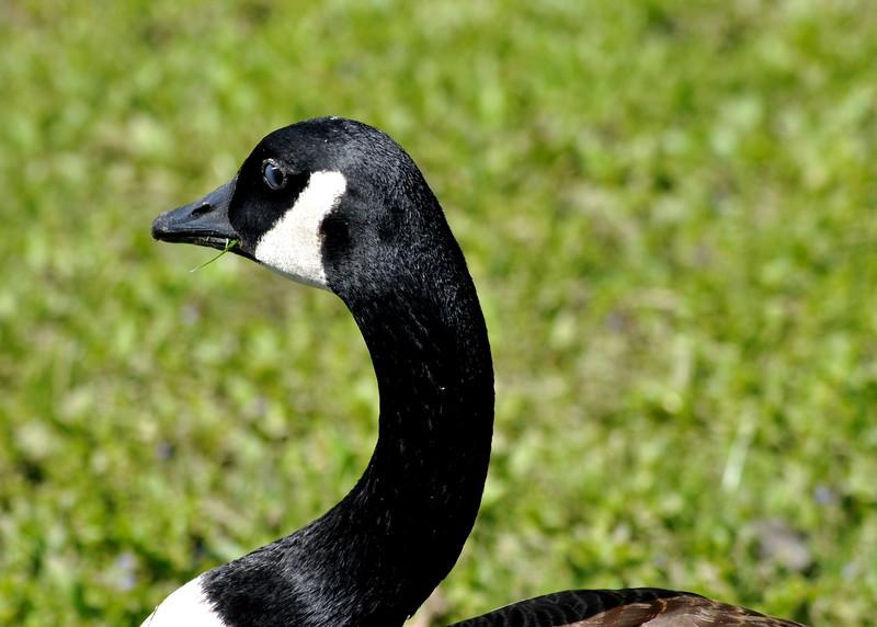 goose 50714_0228