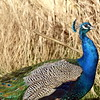 peacock 122714_0139