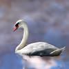 swan 101015 _8548 pink watercolor3