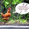 chicken 062615 _3570 2 text free bird