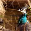 peacock 122714_0080 2