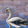 swan 101015 _8548 pink watercolor