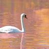 swan 101015 _8557 pnk