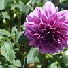 purple 061415 667_0496