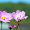 garden flower MCH 101015_2406