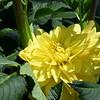 yellow 061415 667_0494