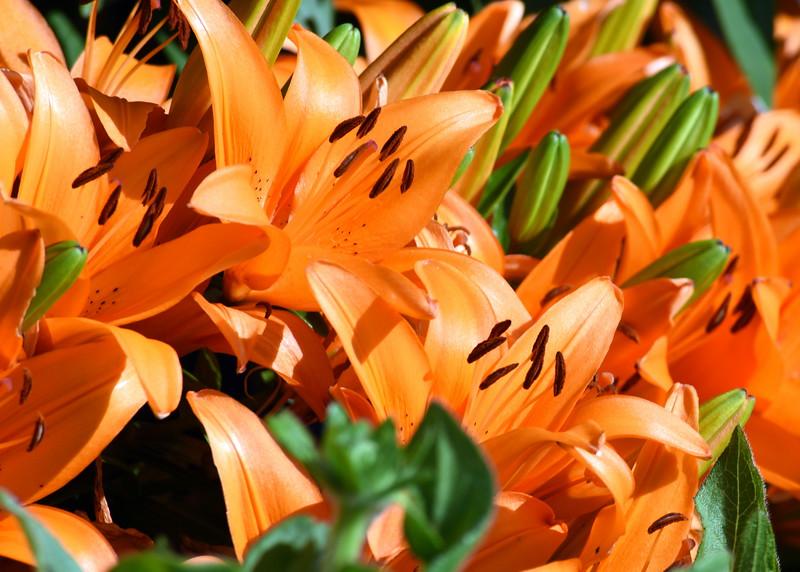 lillies 061415 667_0524