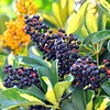 berries 030115_0478