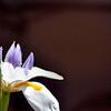 Iris  41614_0547 9 clear