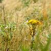 wild flower 080415_6199e