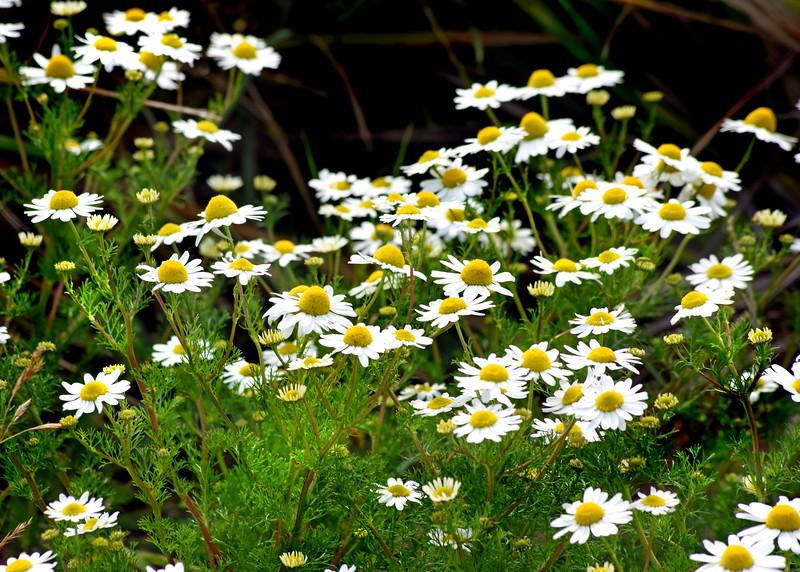 daisies 080415_6074e
